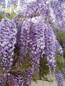 Purple_wisteria_220-01 (2)